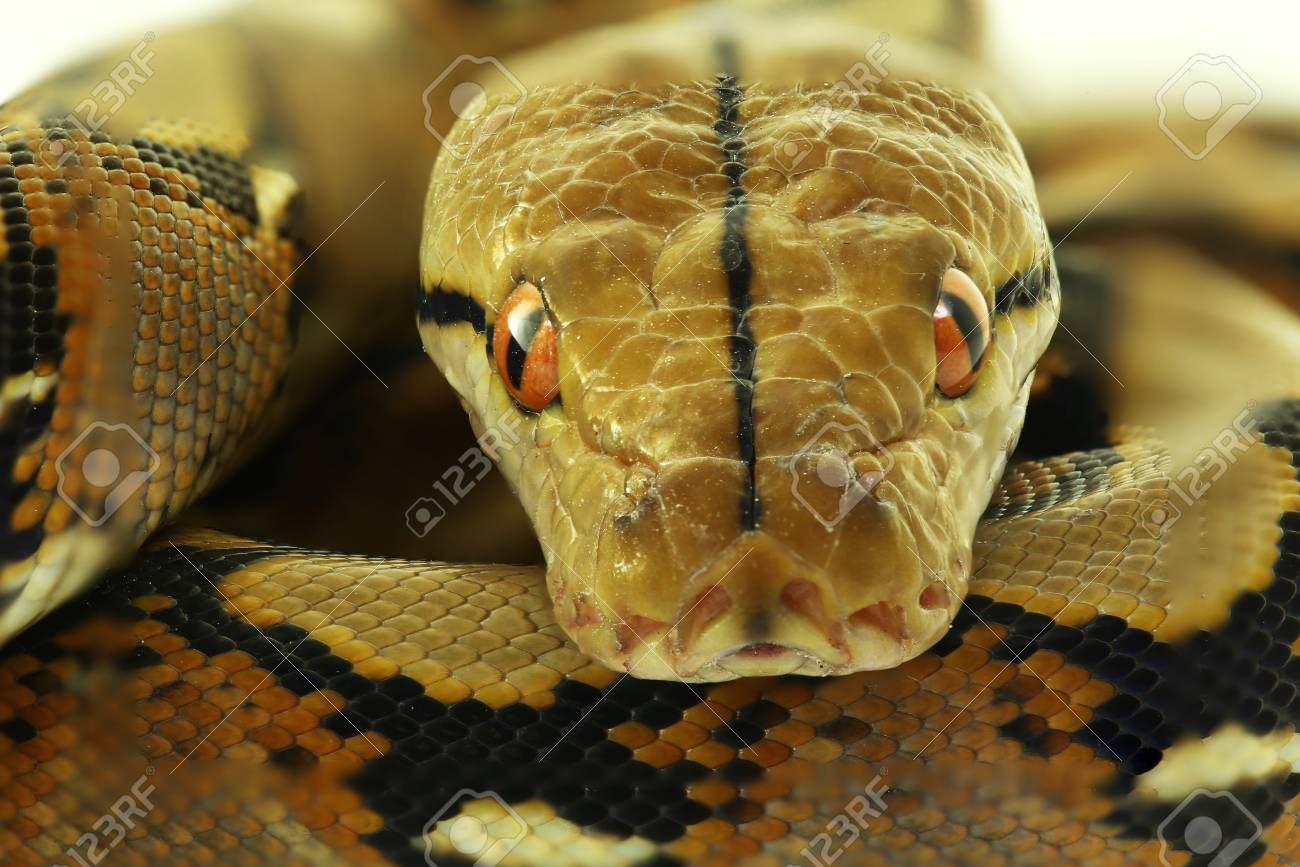 Wild snake 'Python' beautiful reptile. Selective focus and toned image. - 85698541