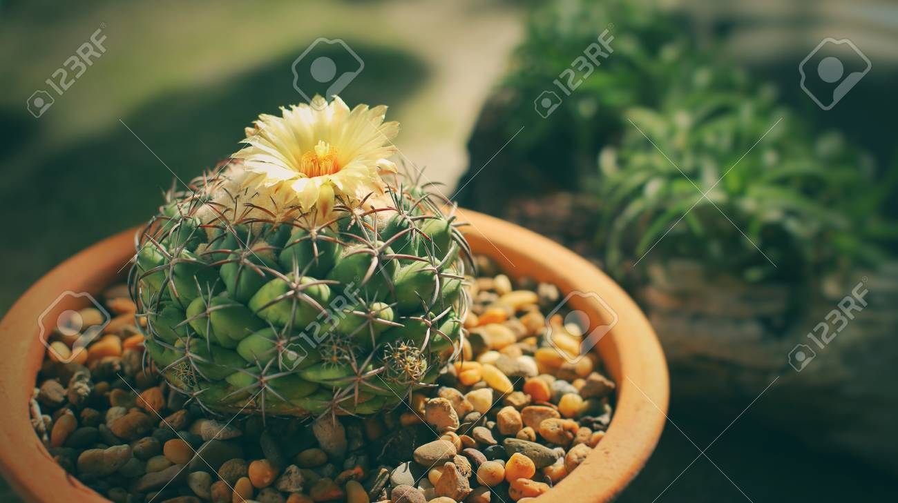 House plant yellow flowers of coryphantha cactus succulent stock house plant yellow flowers of coryphantha cactus succulent pot plant for decorative in house mightylinksfo