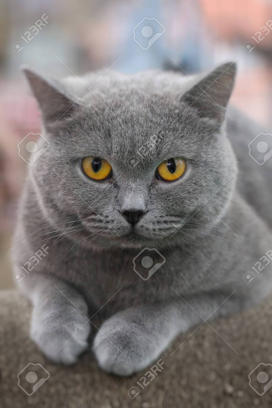 Beautiful color American short hair cat sitting on the paper chair. Cute animals and pet concept, selective focus and free copy space. - 121528433