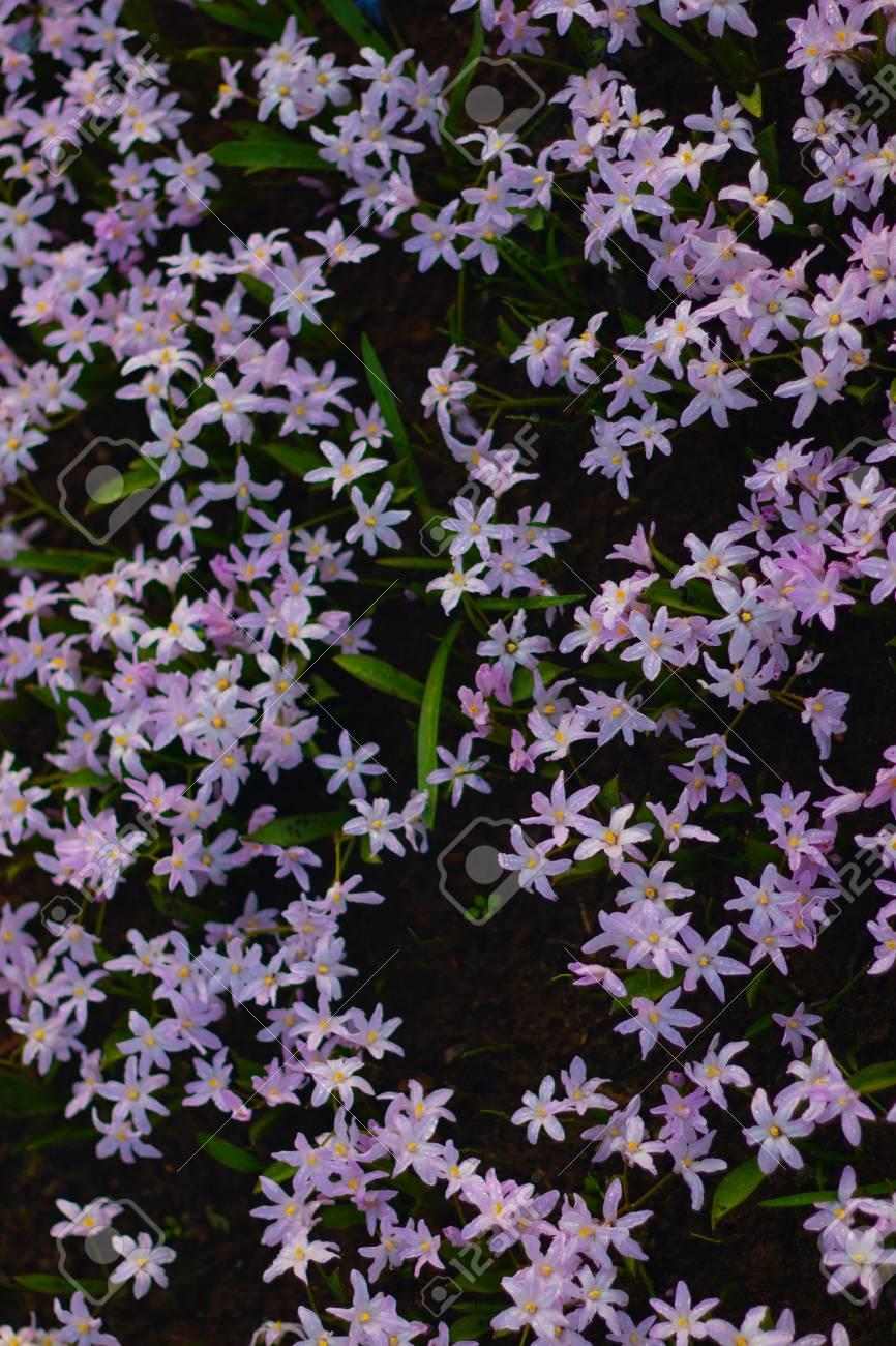 Many Small Little Purple Flowers Field In Koukenhof Netherlands