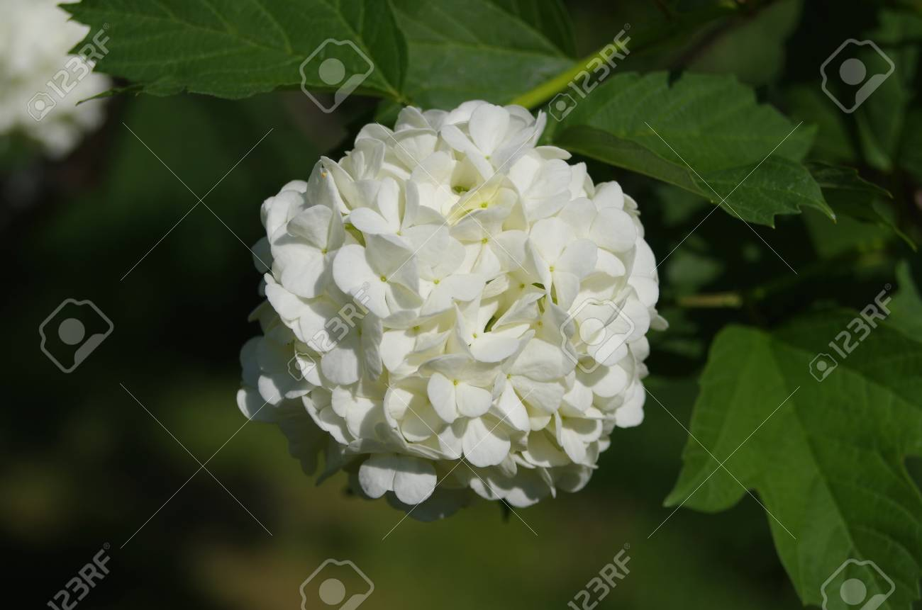 Big white flower growing on a green bush stock photo picture and big white flower growing on a green bush stock photo 102957529 mightylinksfo