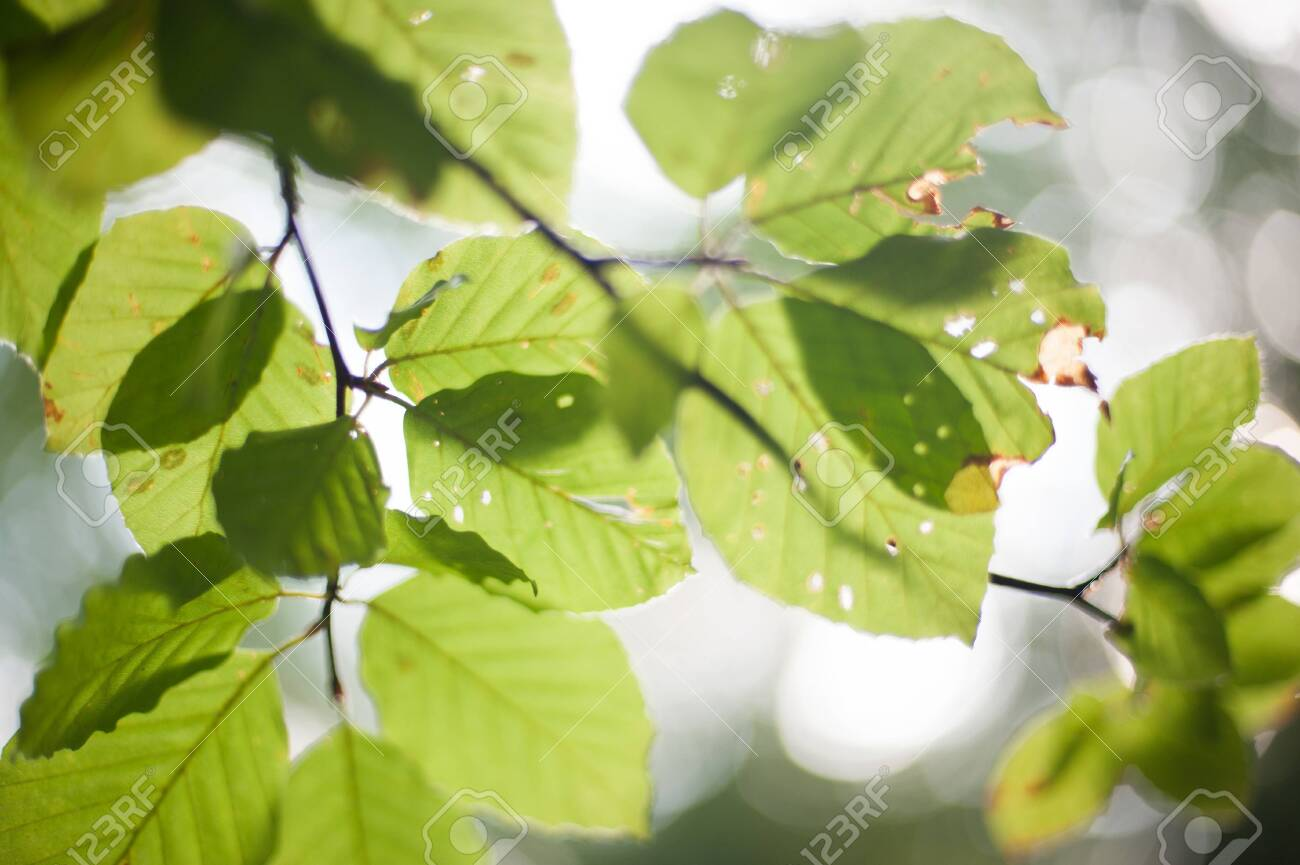 Leaves of a tree in backlight. - 132414089