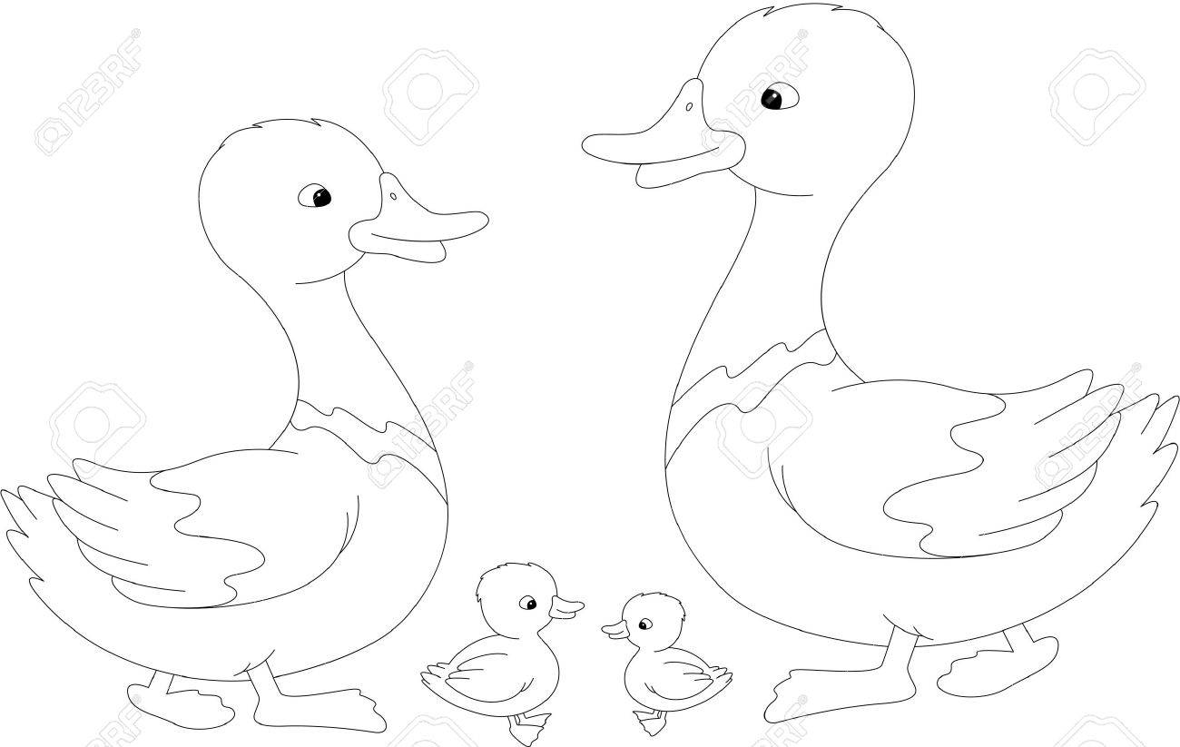 set of duck duckling and drake vector illustration for kids coloring book stock - Drake Coloring Book
