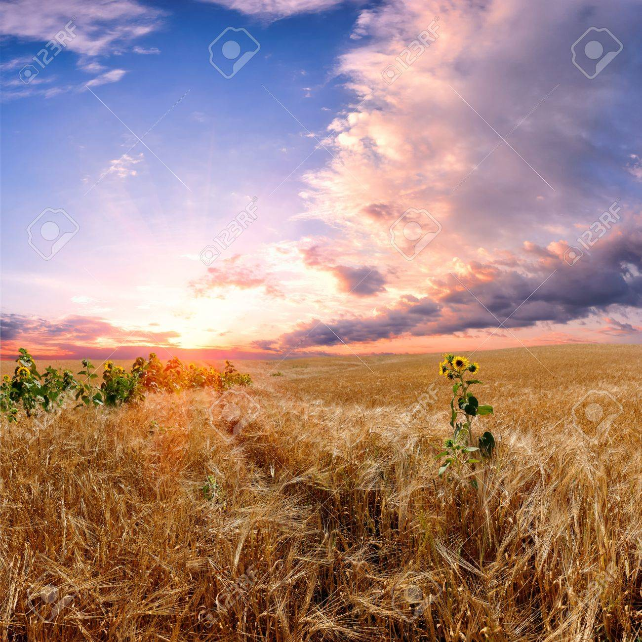 Landscape with wheat field, majestic colorful sunset and beautiful clouds in the sky Stock Photo - 14773753