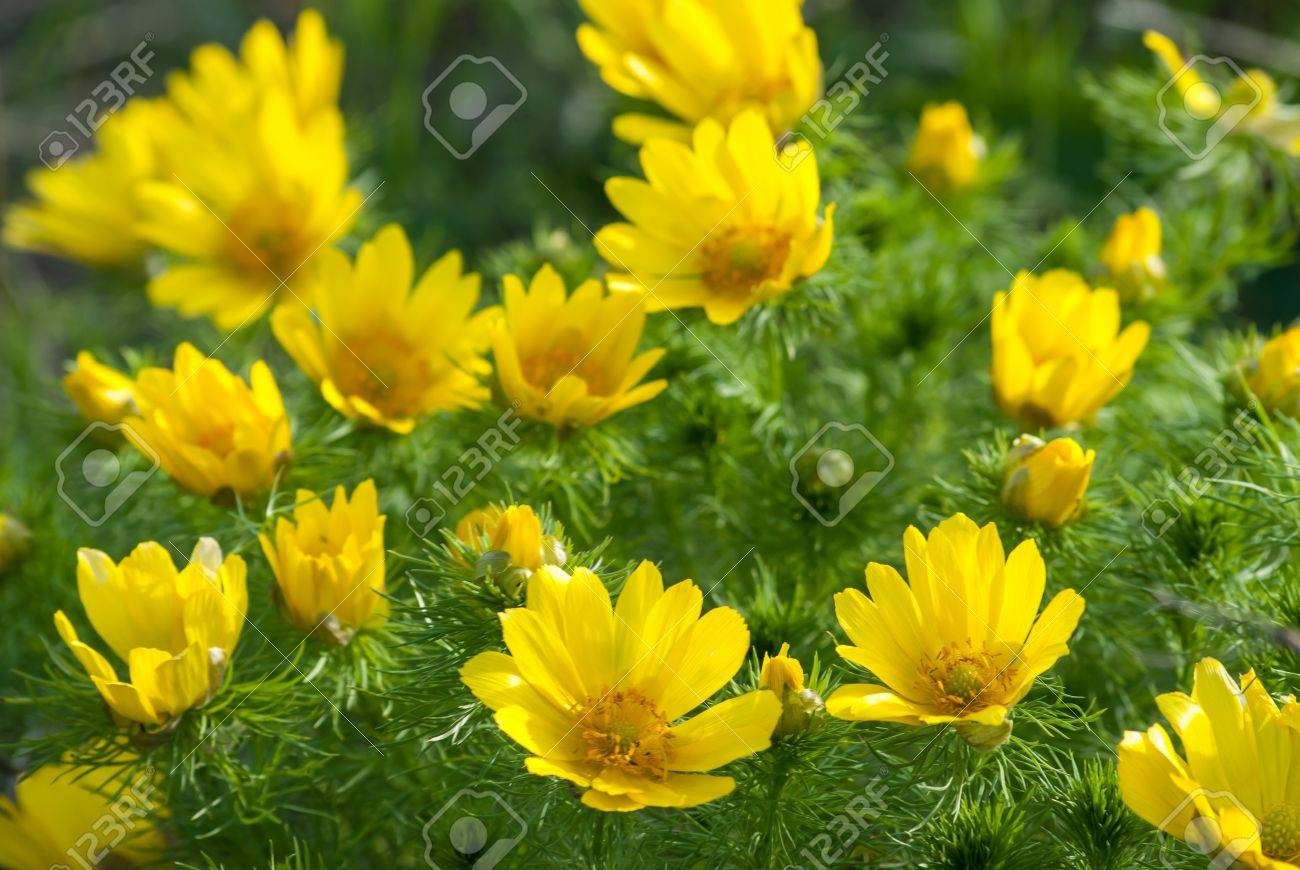 Yellow Flowers Bushes Adonis Meadow On A Sunny Day Stock Photo