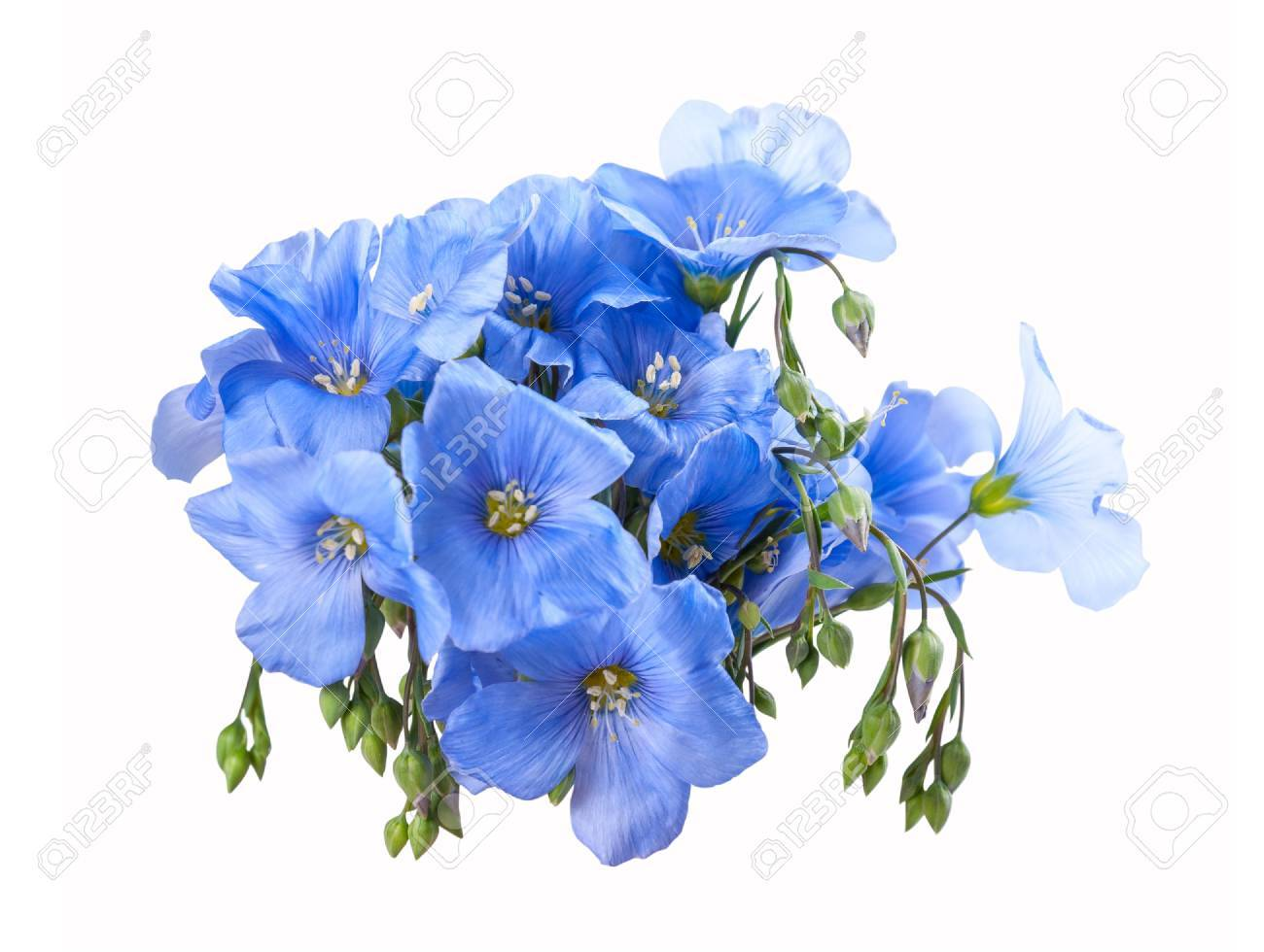 Blue Flax Flowers Isolated On A White Background, For Design Stock ...