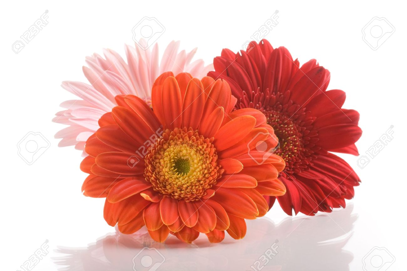 Three Gerbera Daisy Flowers On White Background Stock Photo, Picture ...