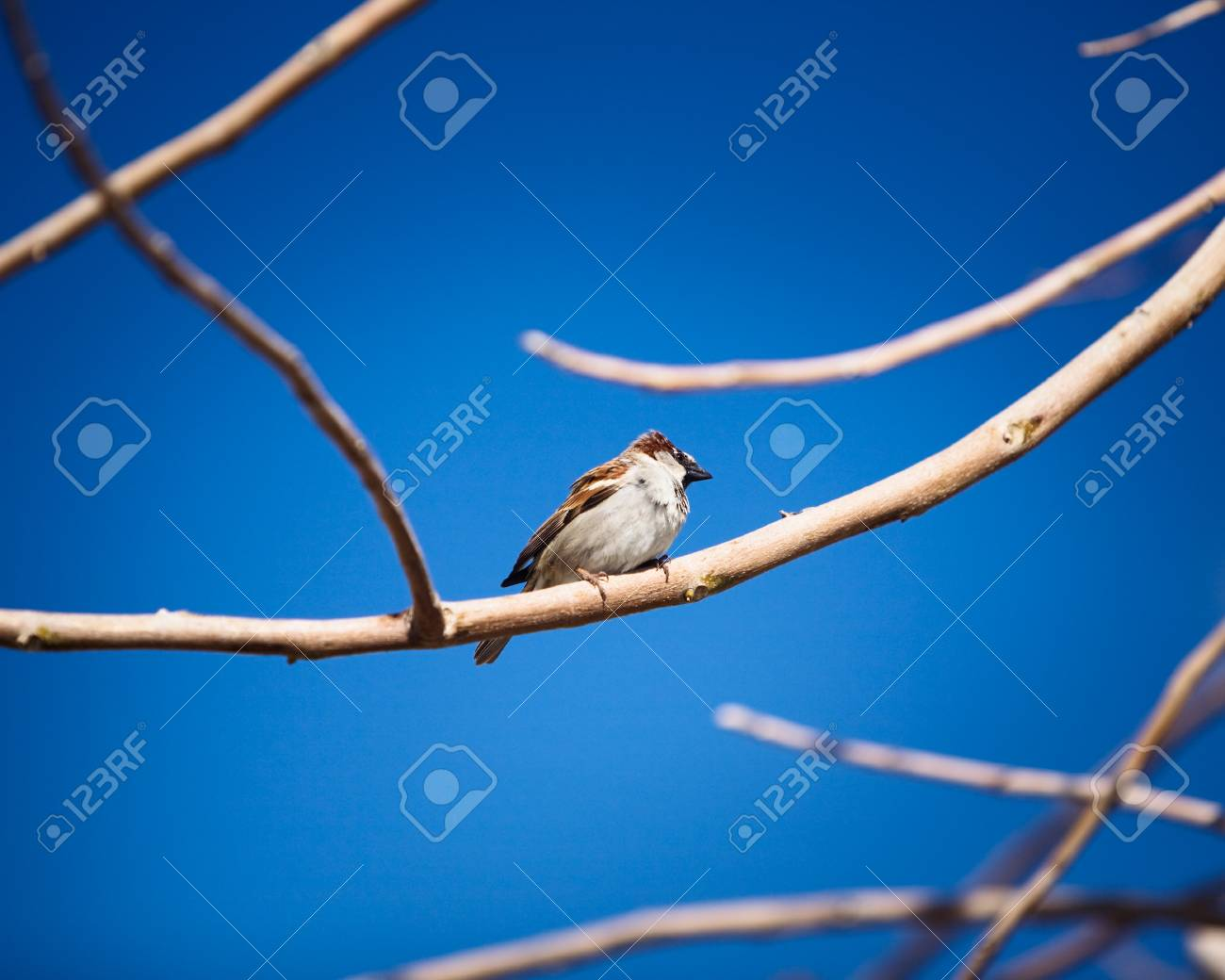 House sparrows perching on the branch Stock Photo - 9418118