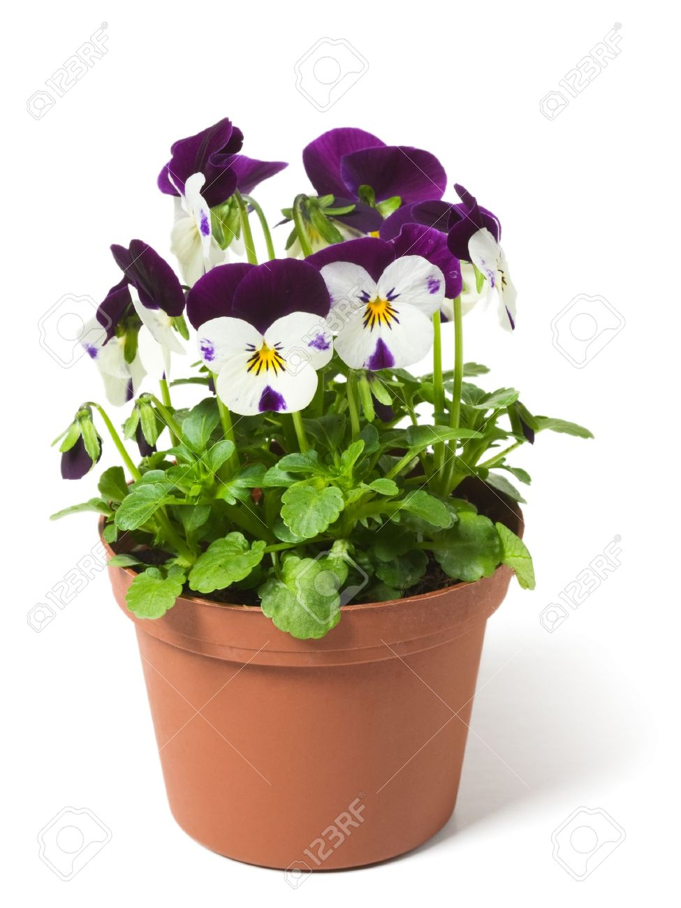 Flower pot with pansies on white background stock photo picture and flower pot with pansies on white background stock photo 9537248 mightylinksfo