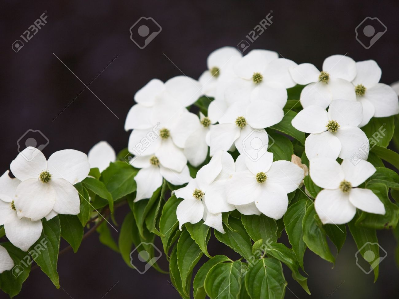 White Kousa Dogwood Flowers Cornus Kousa Japanese Flowering
