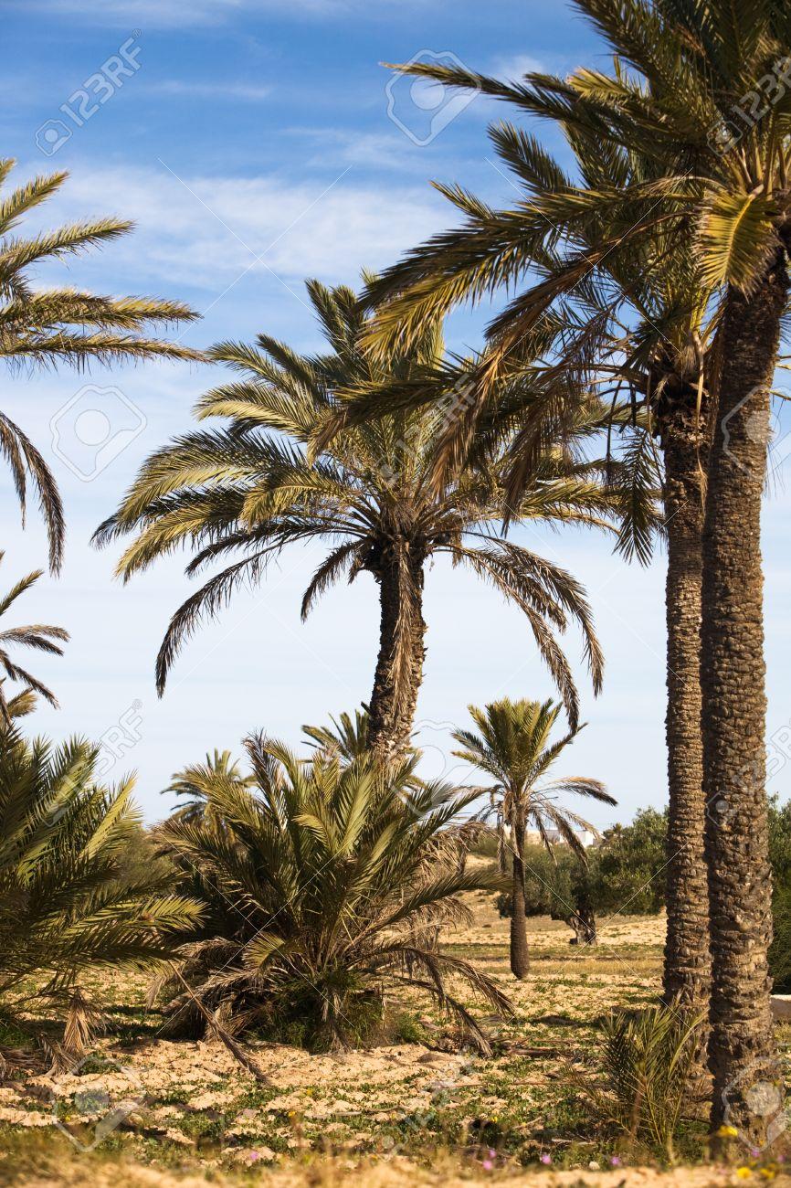 Date palms in the desert, island of Djerba, Tunisia, Africa Stock Photo - 12454977