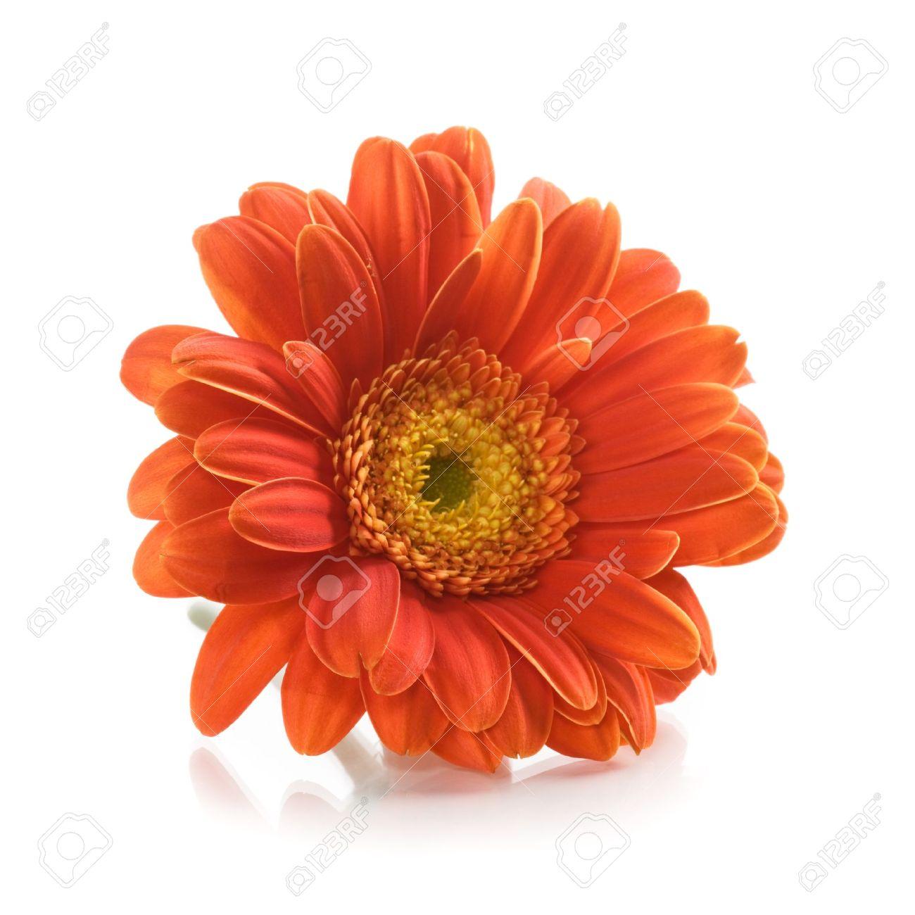 Герберы цветов цена за одну