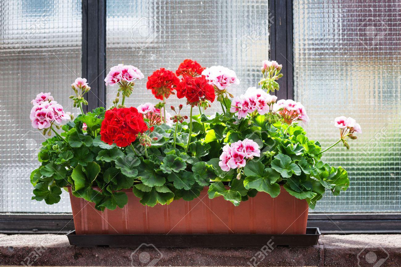Пеларгония из семян в домашних