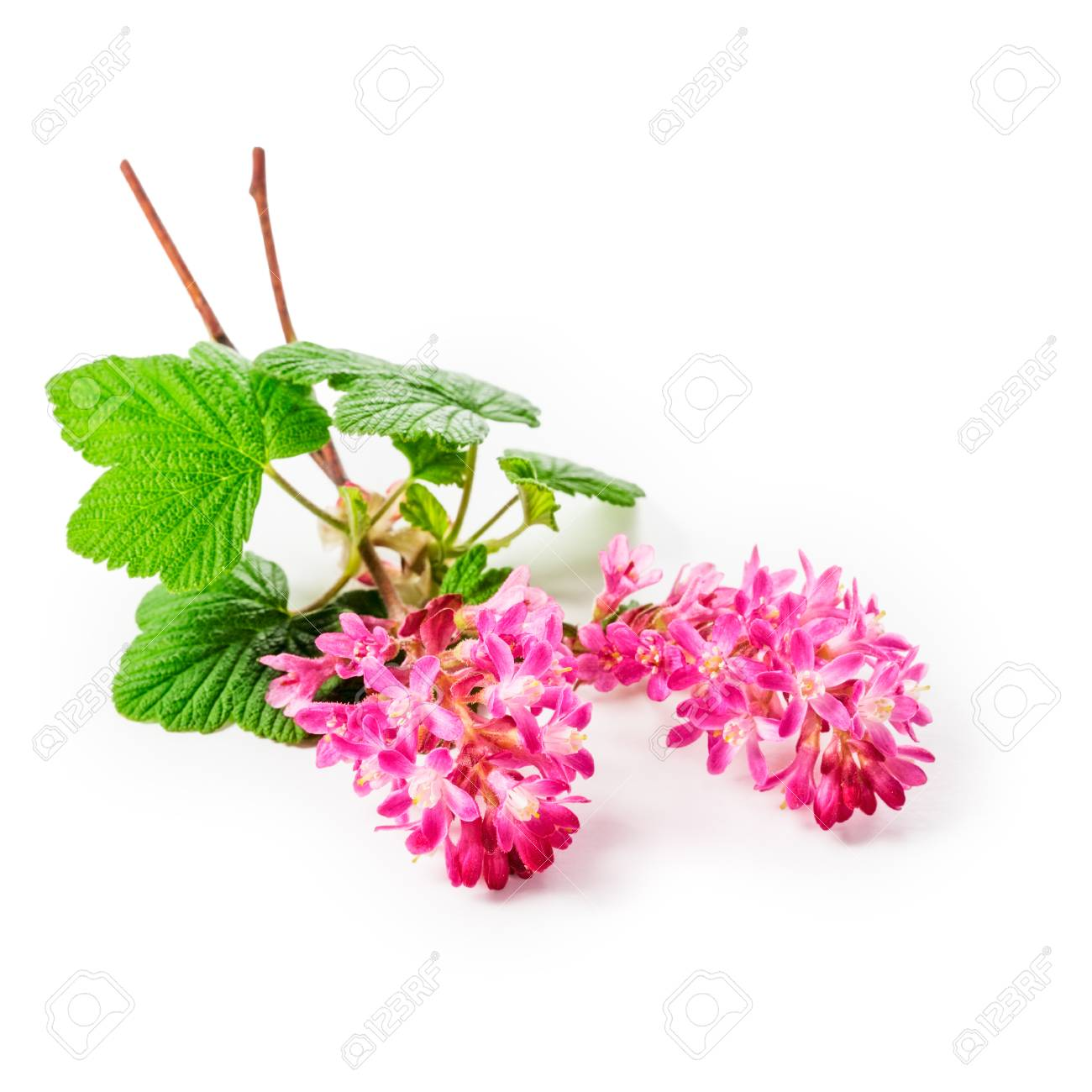 Flowering currant twig with pink flowers isolated on white flowering currant twig with pink flowers isolated on white background clipping path included ribes sanguineum mightylinksfo