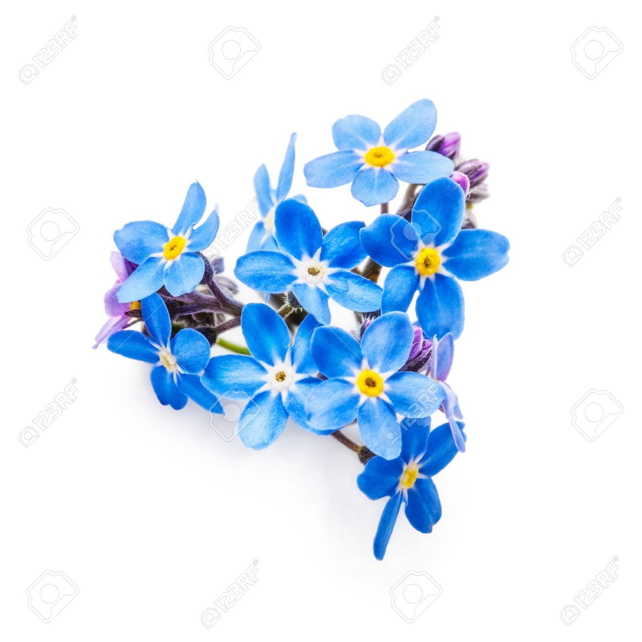 Blue Forget Me Not Flowers Bunch Isolated On White Background