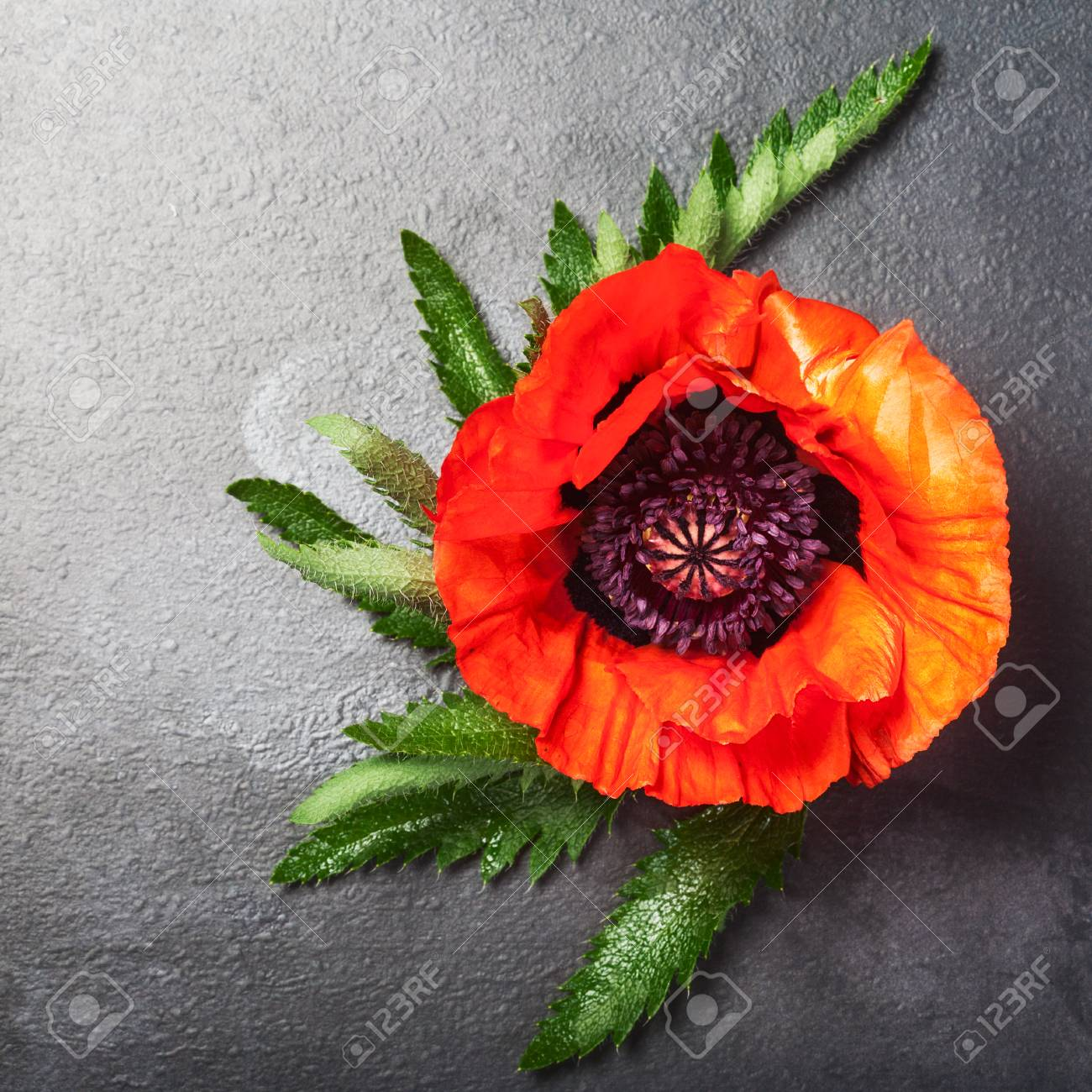 Red poppy flower with leaves on dark background summer garden red poppy flower with leaves on dark background summer garden flowers top view mightylinksfo