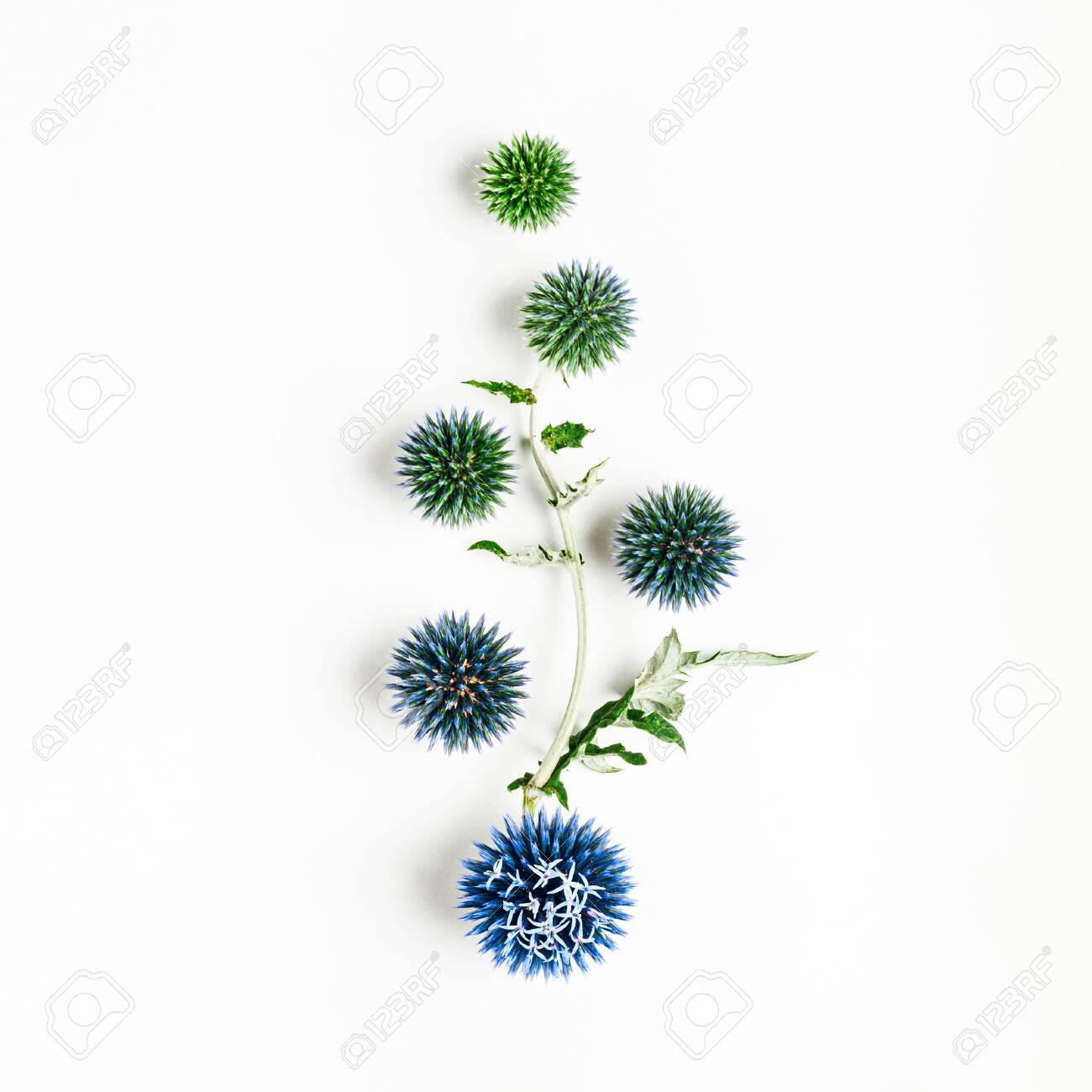 Blue Thistle Flowers And Leaves Composition Flower Arrangement Stock Photo Picture And Royalty Free Image Image 129495399