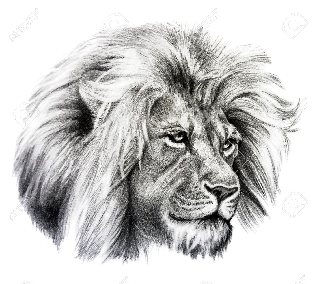 Pencil drawing of lion head isolated on white background stock photo 52914758