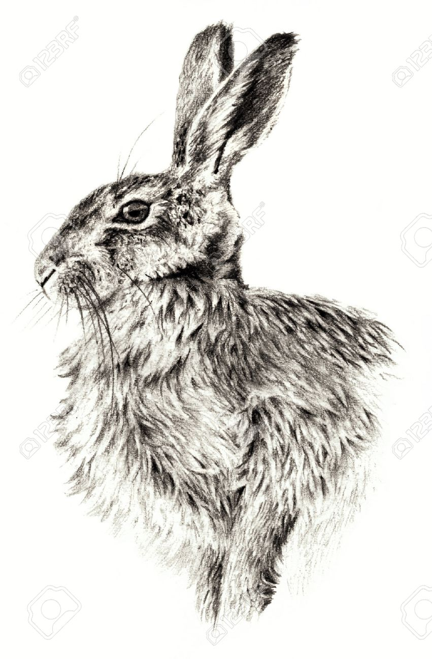 Sketch - Rabbit on white background. Detailed pensil drawing Banque d'images - 52914756