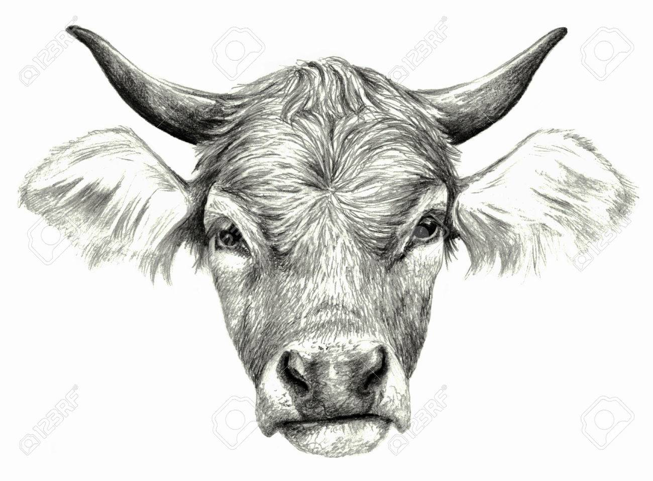 Cows head isolated on white background pencil drawing monochrome