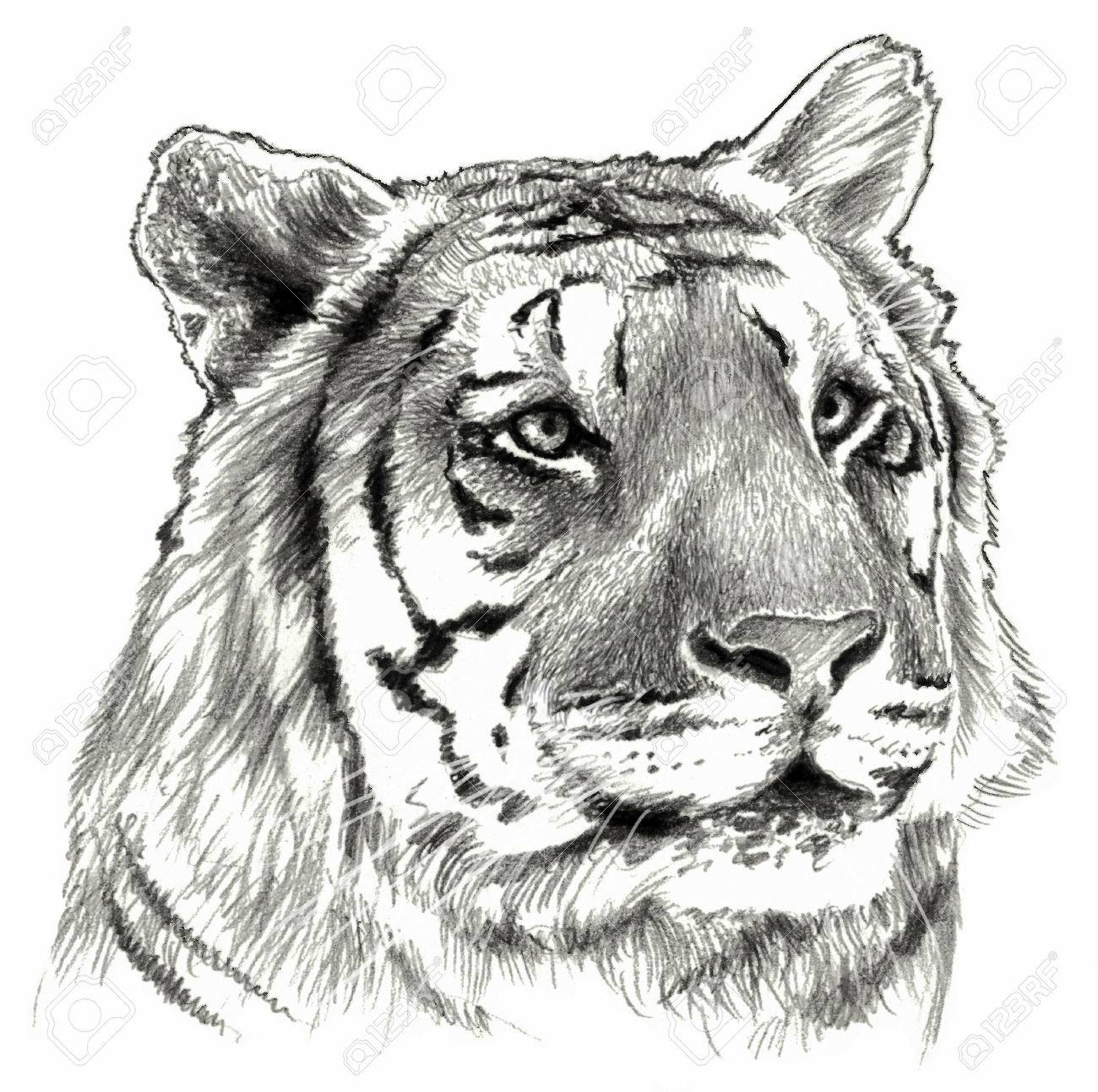 Stock photo tigers head isolated on white background pencil drawing monochrome image