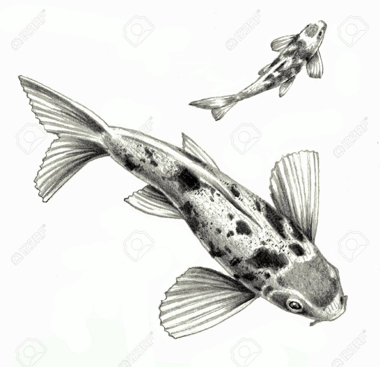 Japanese koi fish isolated on a white background detailed pencil