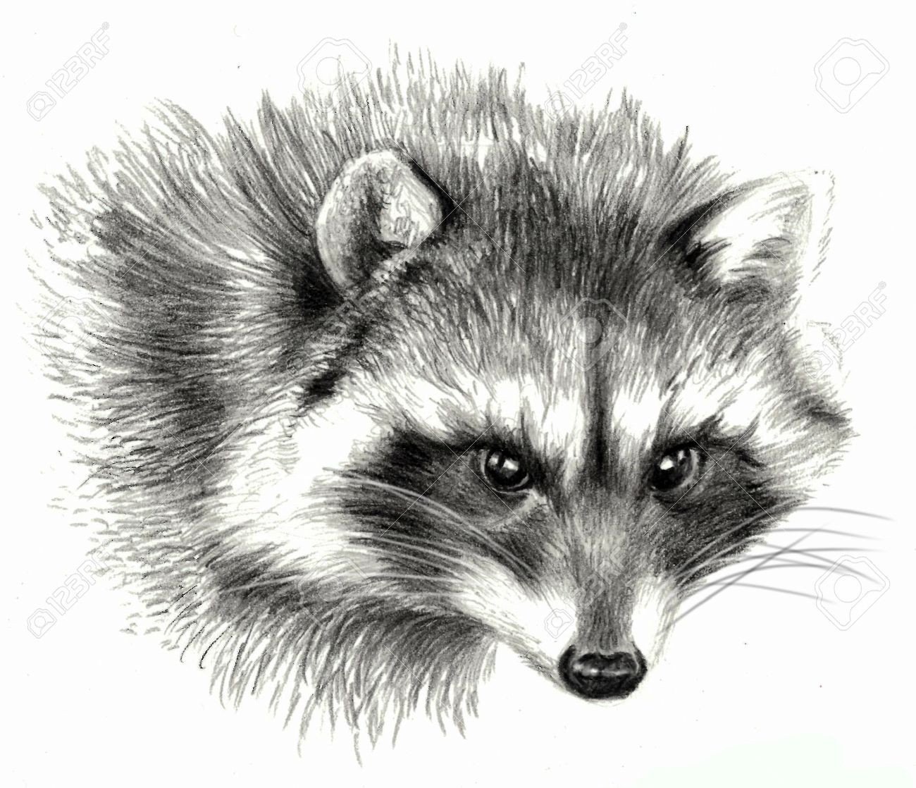 Sketch raccoon portrait on white background detailed pencil drawing stock photo 52914771