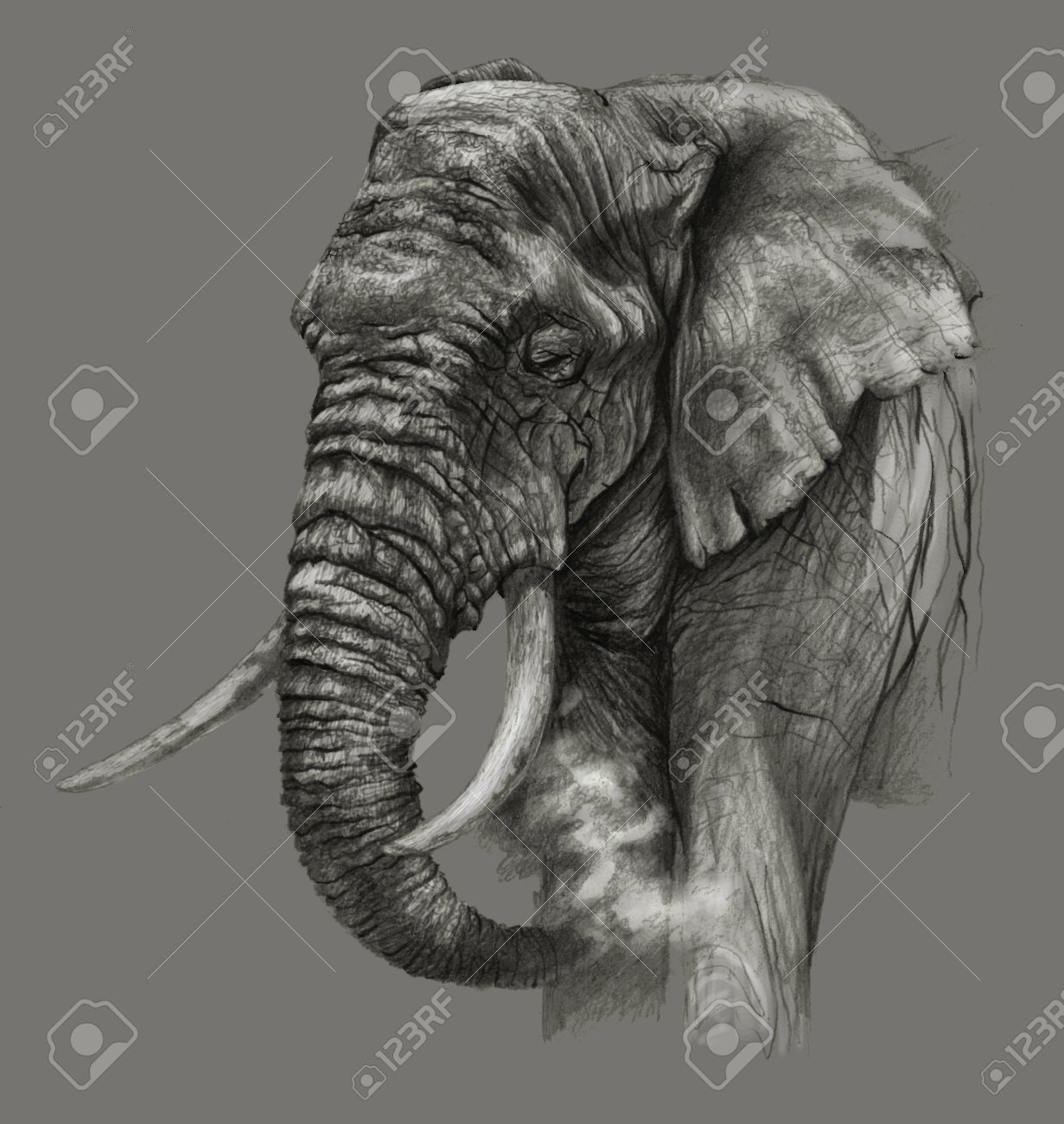 Sketch african elephant on gray background detailed pencil