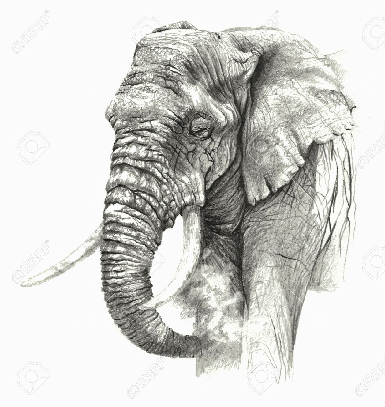 Sketch african elephant on white background detailed pencil