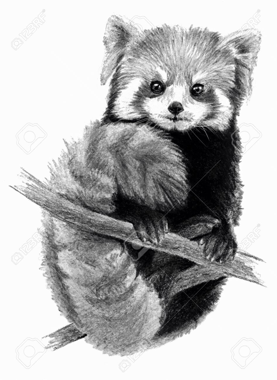 Sketch red panda on the tree on white background detailed pencil drawing