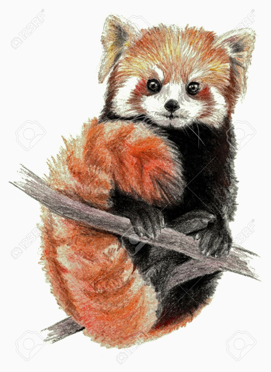 Red panda isolated on white background pencil drawing