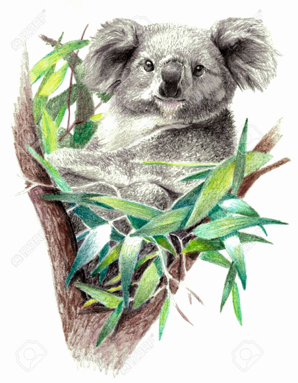 Color Sketch - Koala Bear On The Tree. On White Background. Detailed ...
