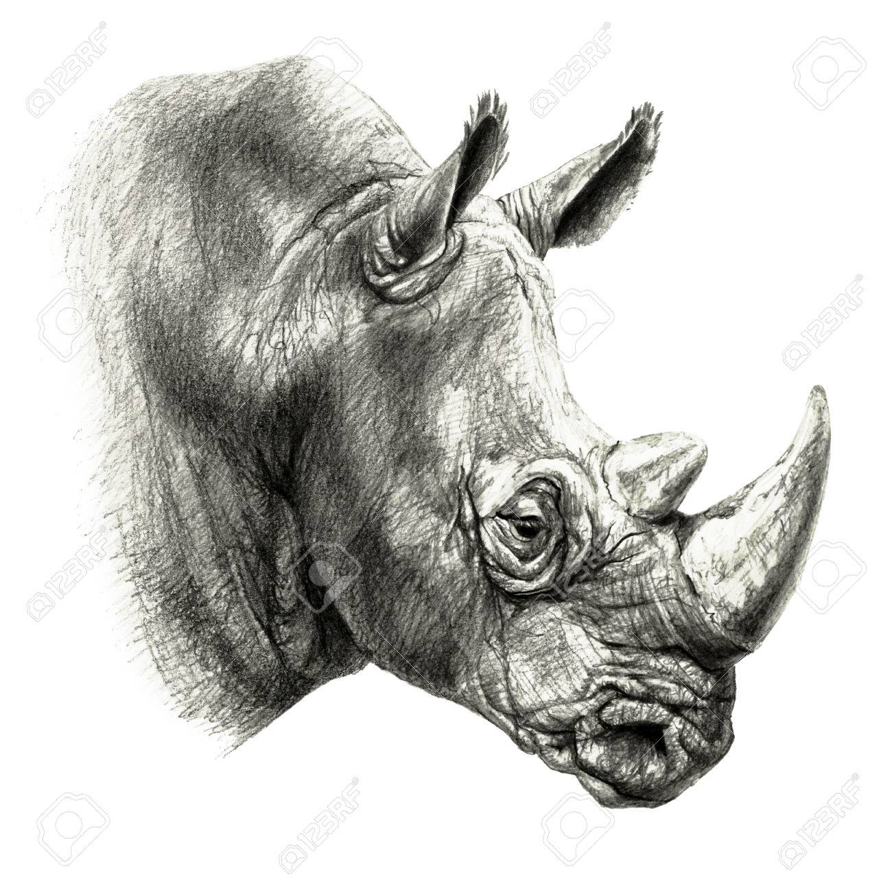 Pencil drawing rhinos head in profile isolated on white background stock photo 75014611