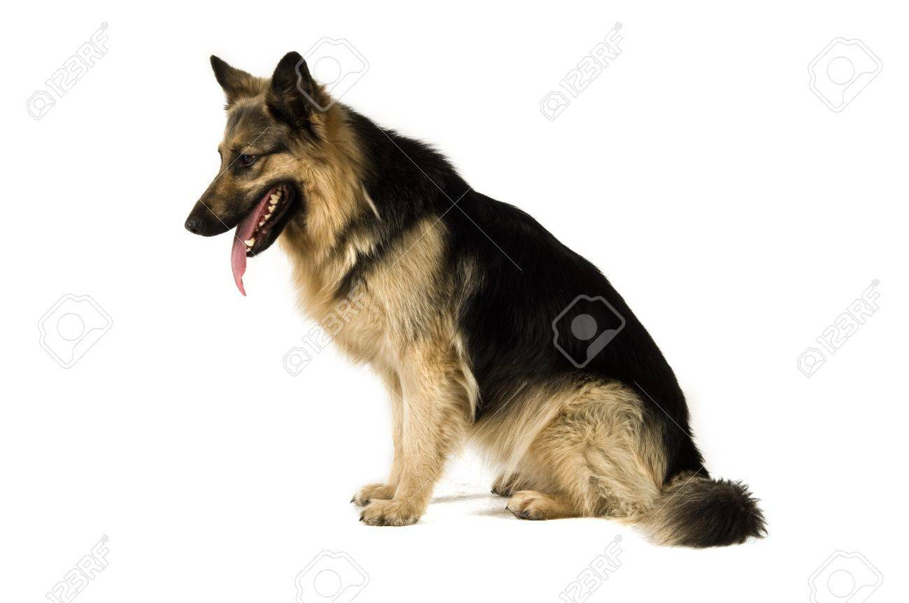 German Shepherd dog isolated on a white background while sat down side view Stock Photo - 14858979