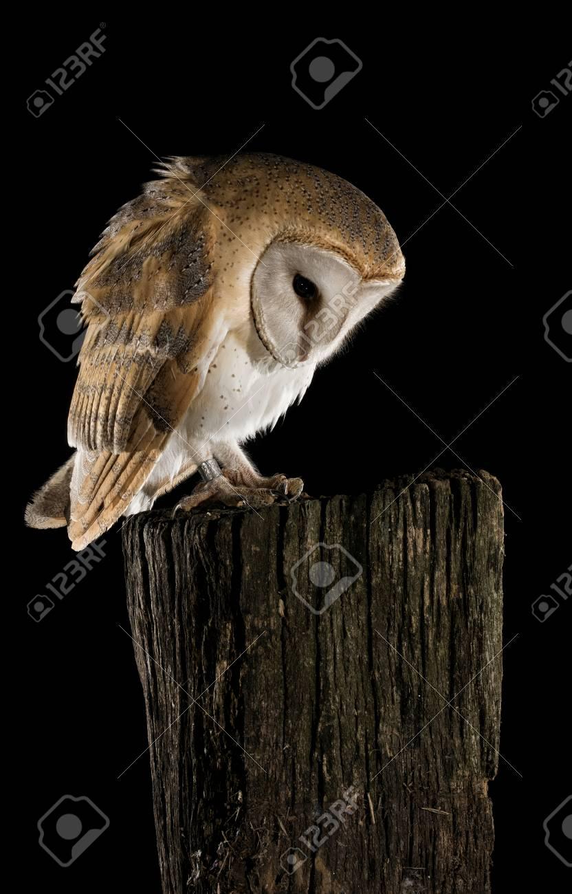 Barn Owl In Flight Of Perching On A Trunk With Open Wings Black