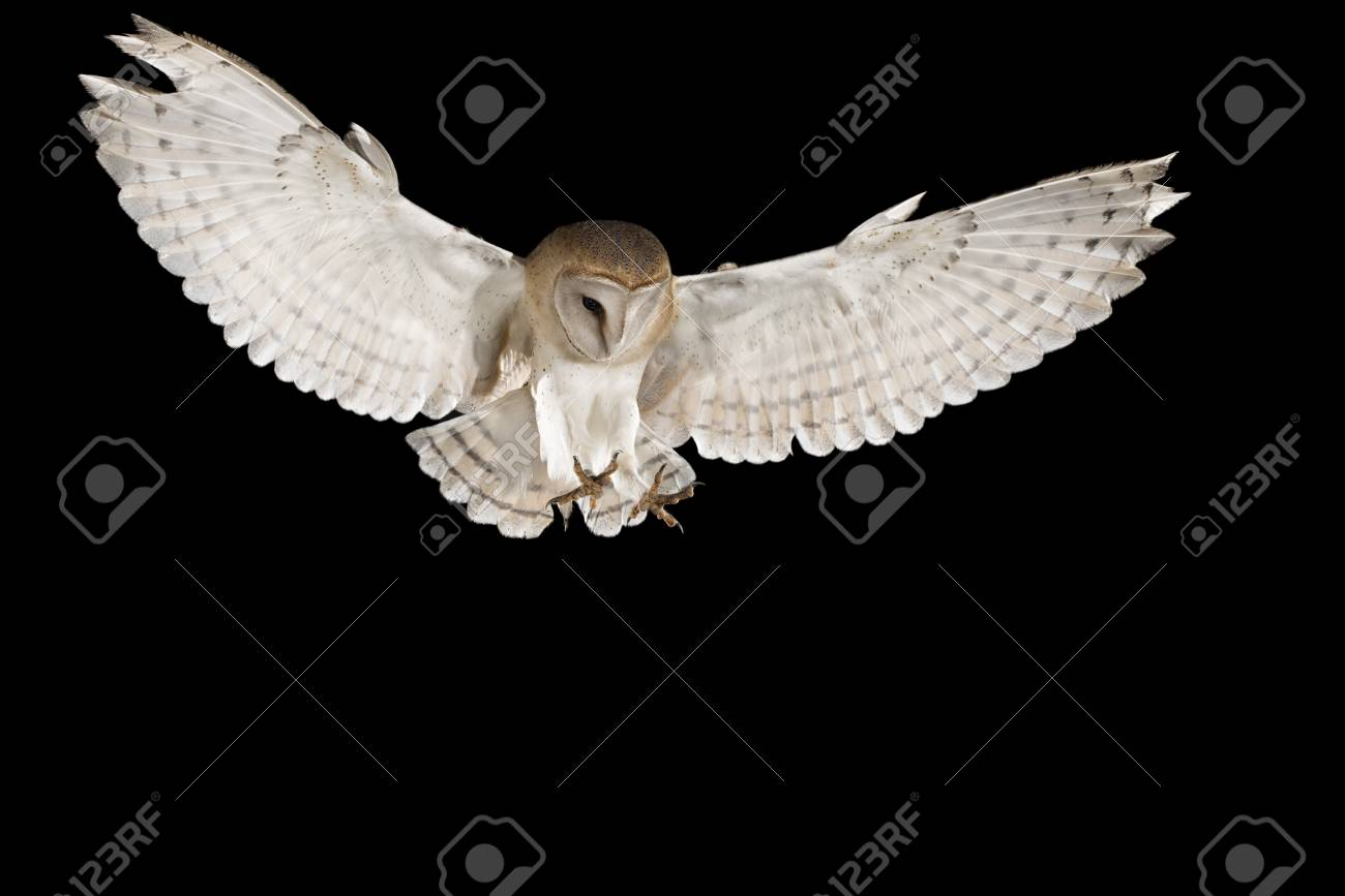Barn Owl In Flight Of Perching On A Trunk With Open Wings Black Stock Photo Picture And Royalty Free Image Image 105068576