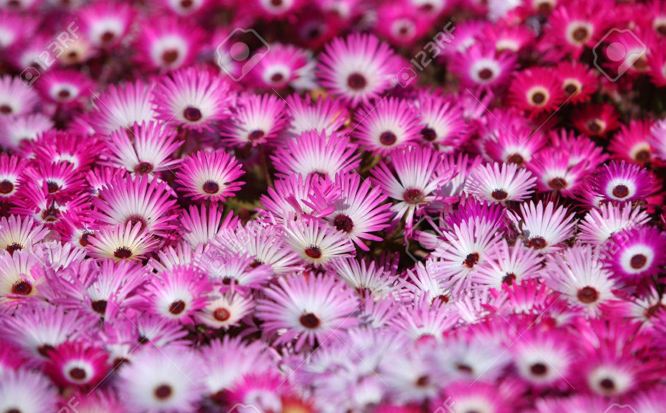Field Of Red And Pink Flowers Stock Photo Picture And Royalty Free