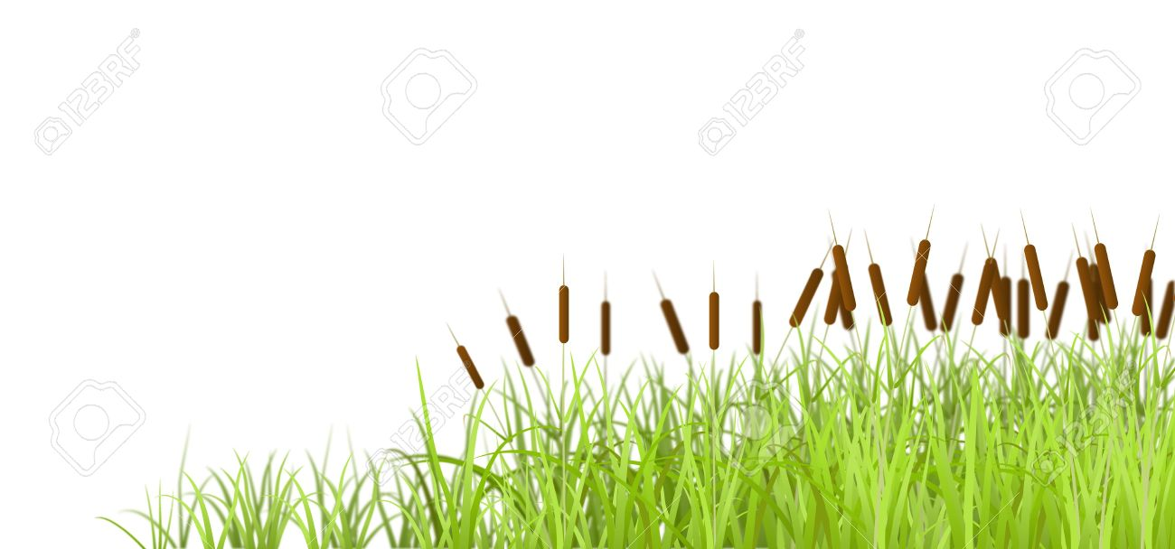Marsh grass, isolated on white background, is shown in the image. Stock Vector - 11056936