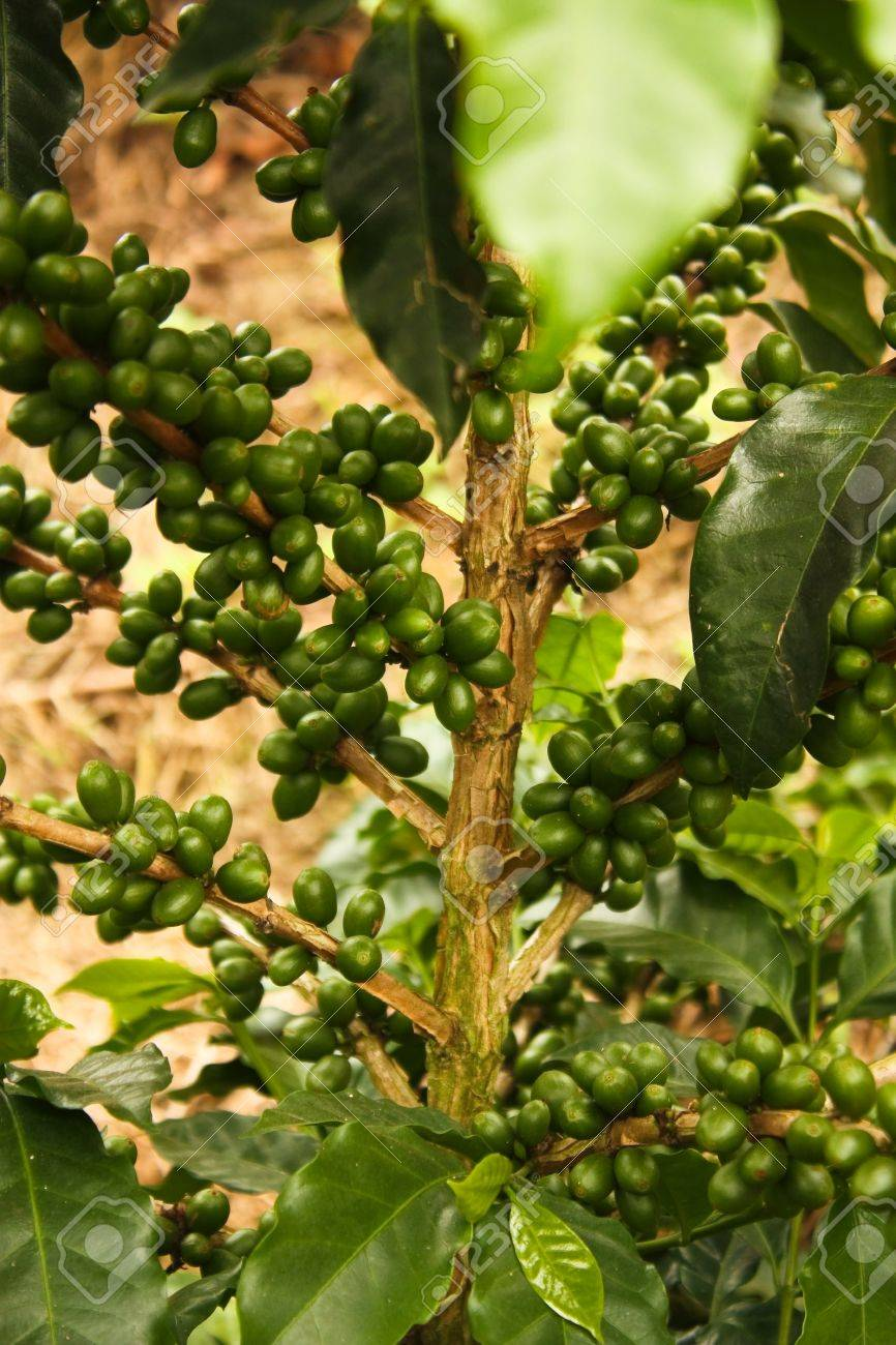 Colombian coffee plantation in the Andean valleys. Quimbaya, Quindio, Colombia. Triangle coffee. Stock Photo - 12125569