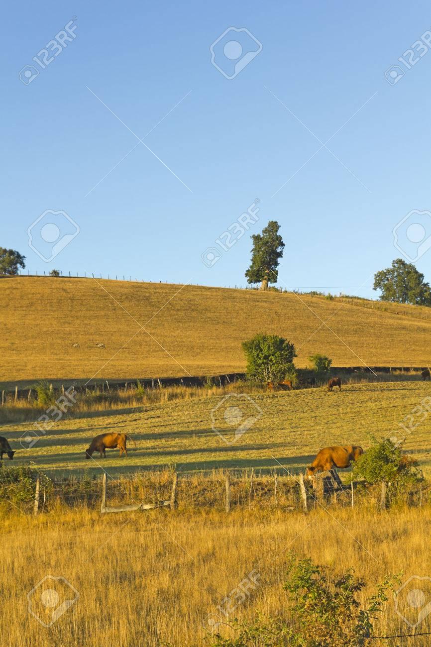 チリ南部 (ラ ・ アラウカニア州アンデス) のフィールド放牧牛 の写真 ...