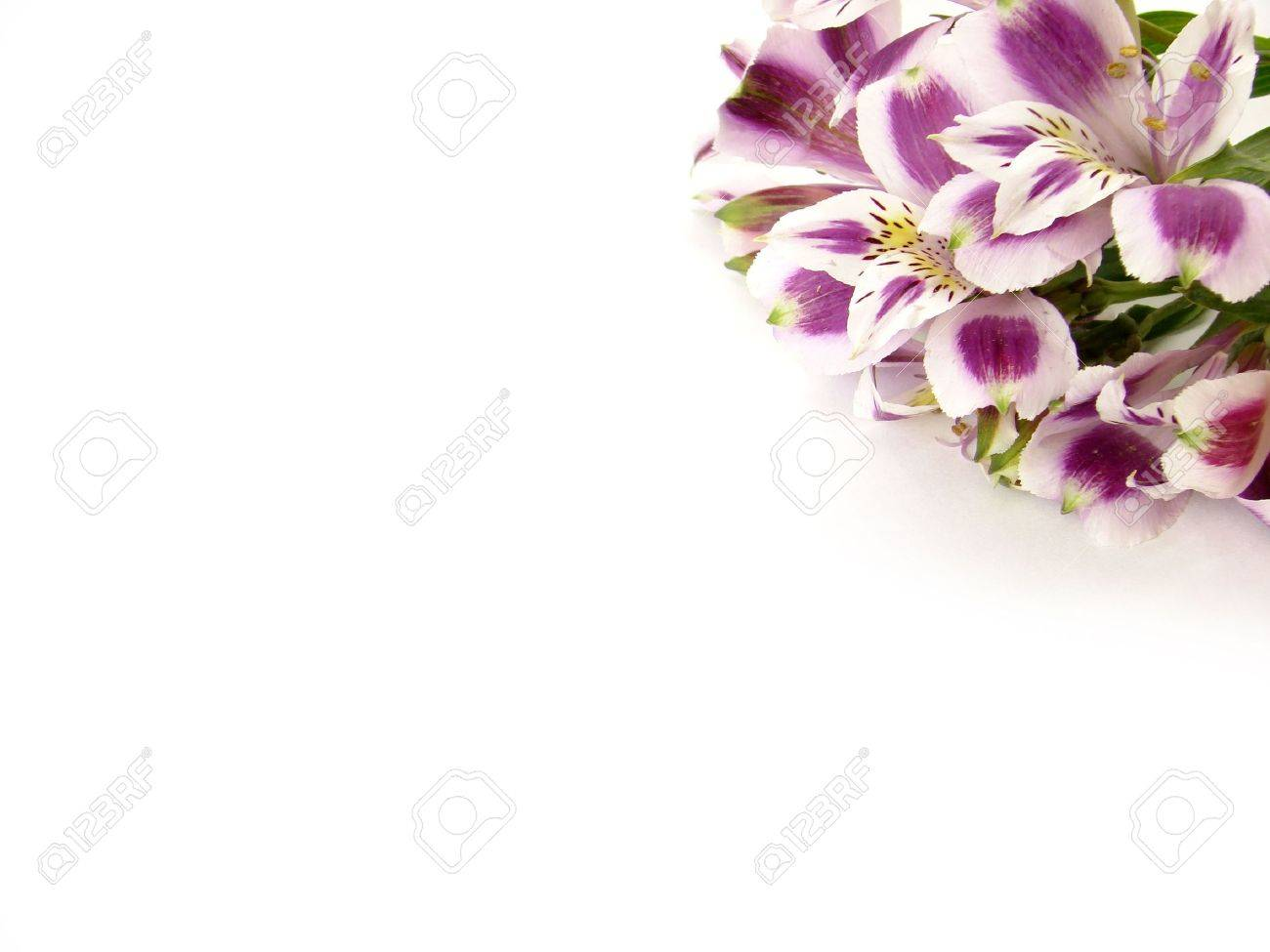 White and Purple Alstroemeria flowers card background - space for text Stock Photo - 3814151