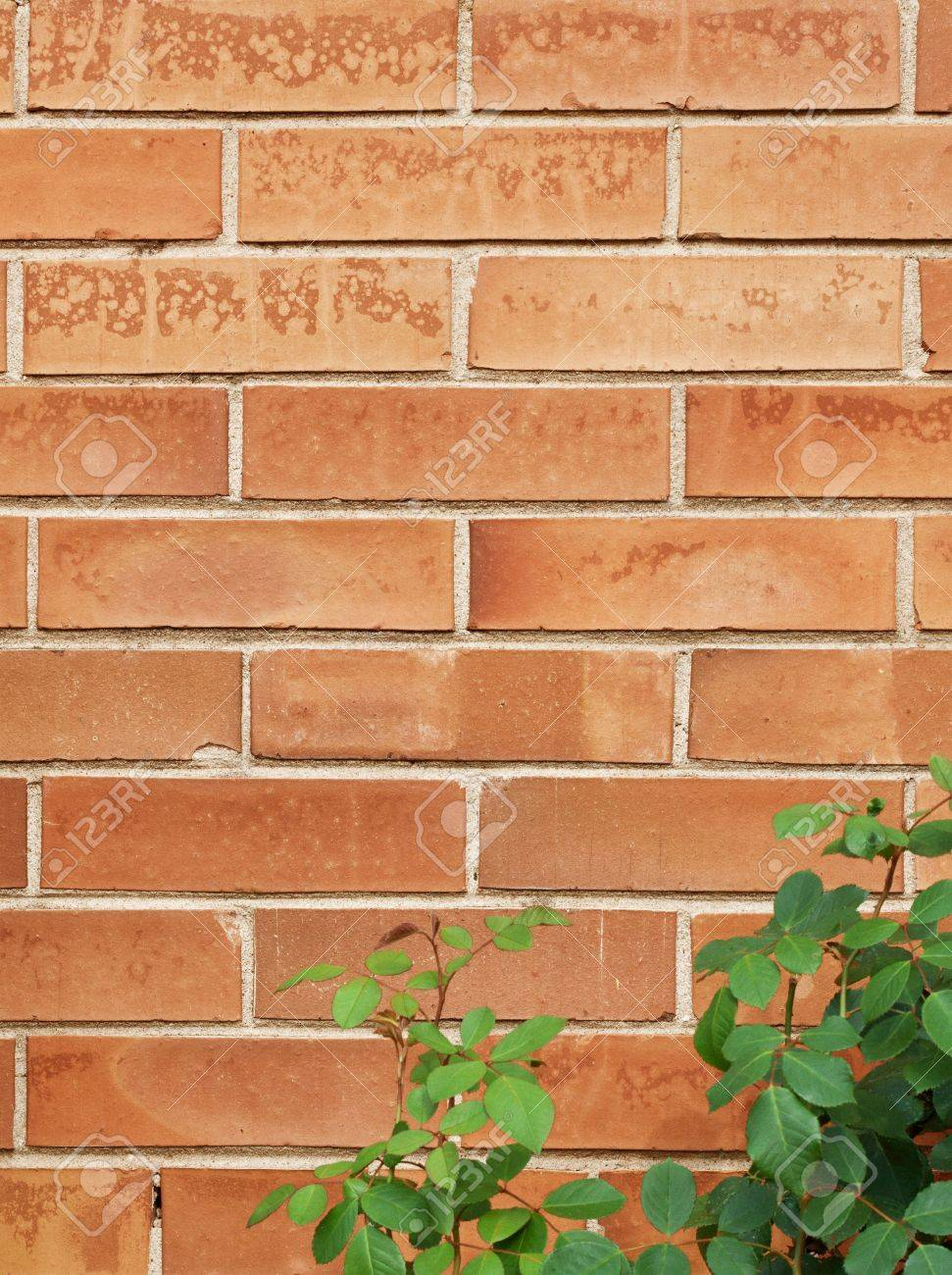 brick brown wall texture with rose bush Stock Photo - 22113990