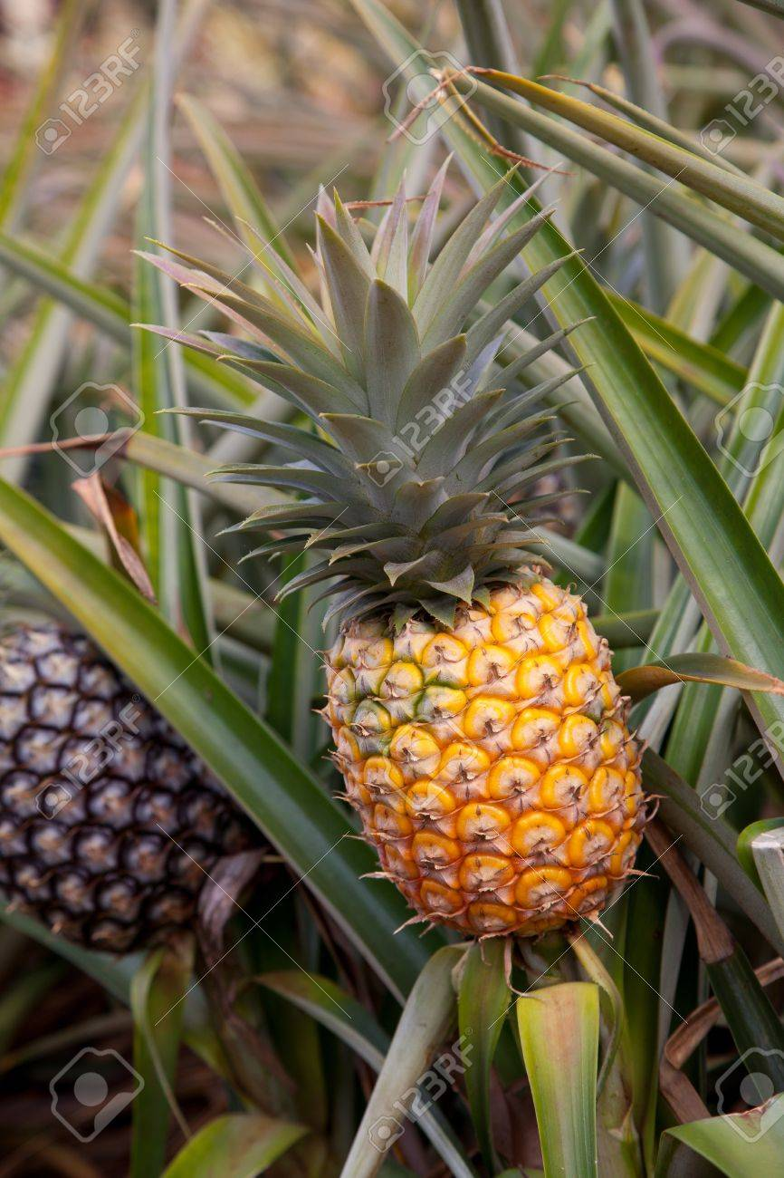 Ripe Hawaii Pineapple On Plant Found In Plantation Field Banque Dimages