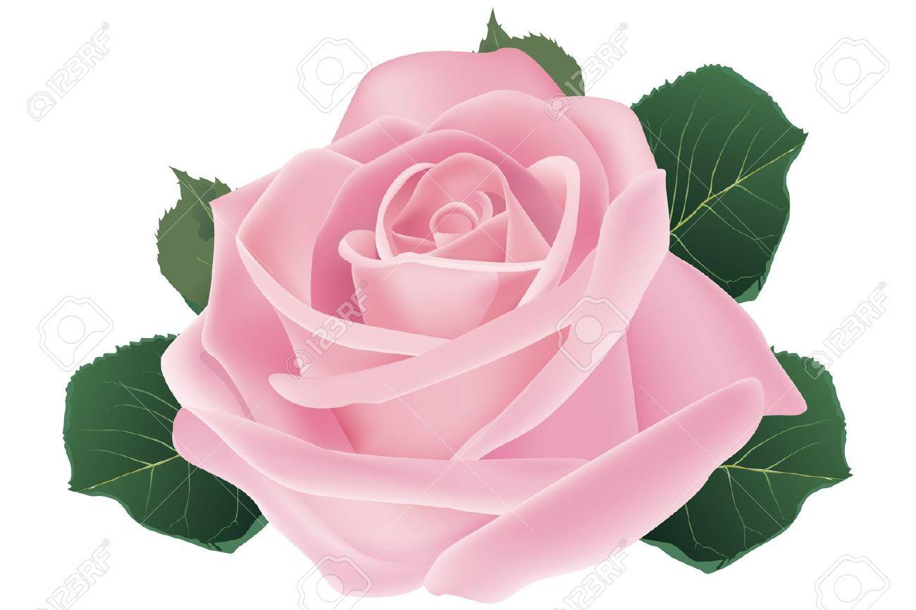 ピンクのバラの花 イラストのイラスト素材ベクタ Image 12308024