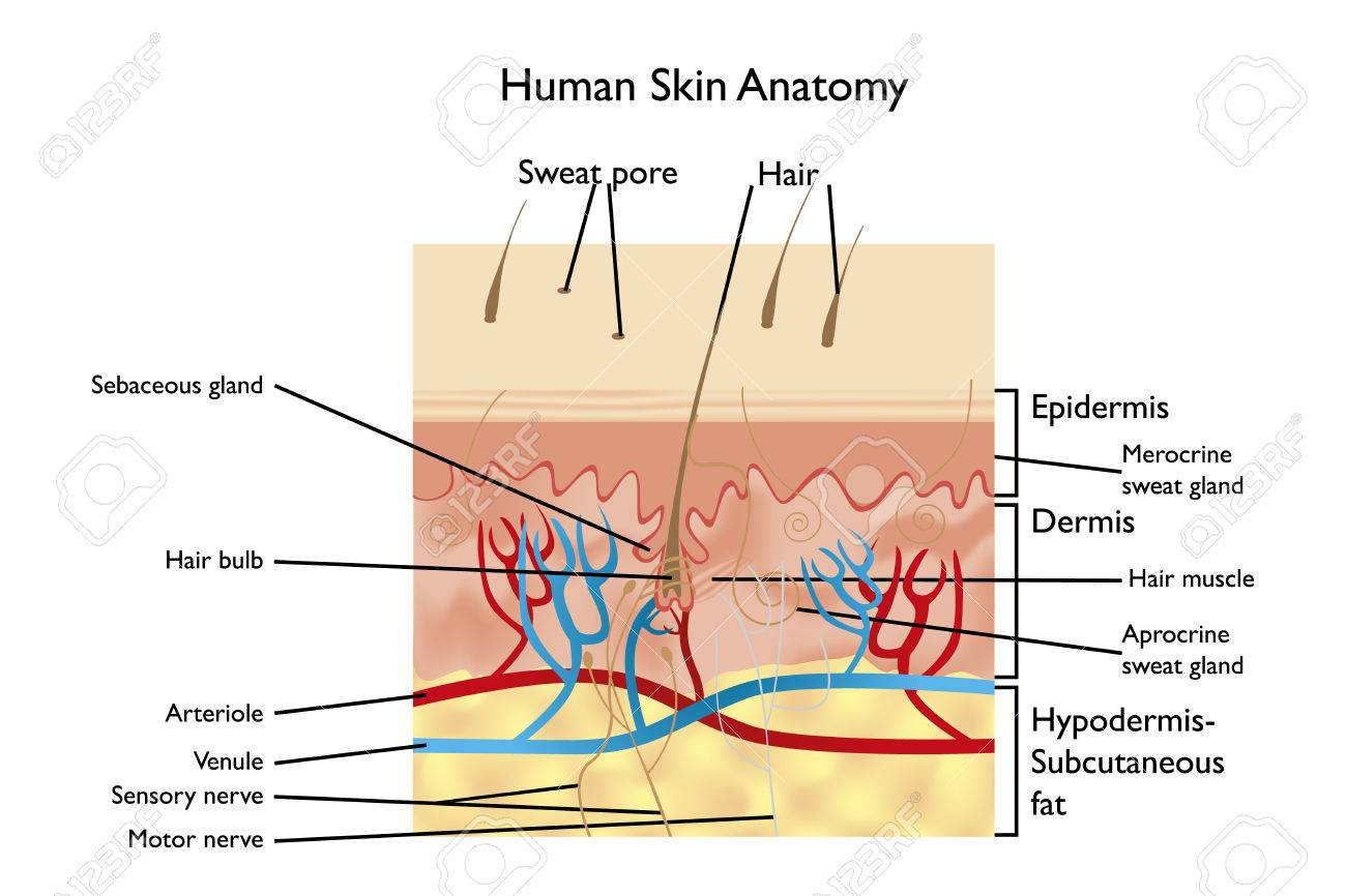 Anatomía De La Piel Humana - Ilustración Detallada Con Designaciones ...