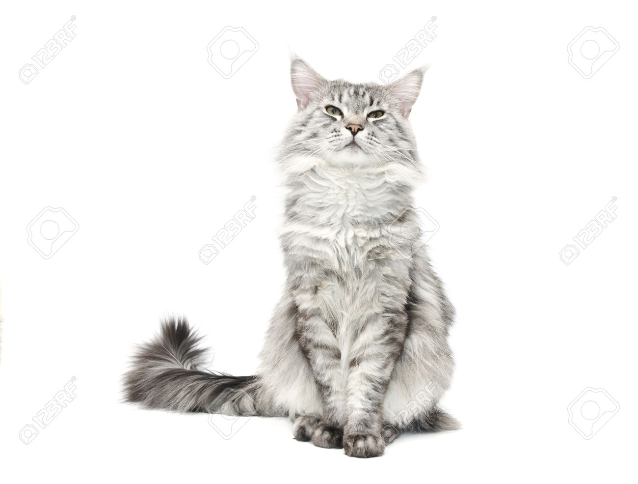 stock photo grey maine coon cat against white background