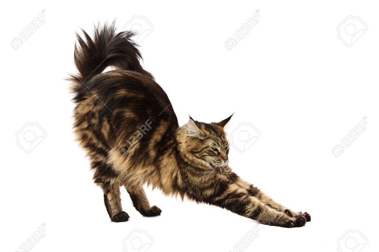 maine coon cat stretching against white background Stock Photo - 6160660