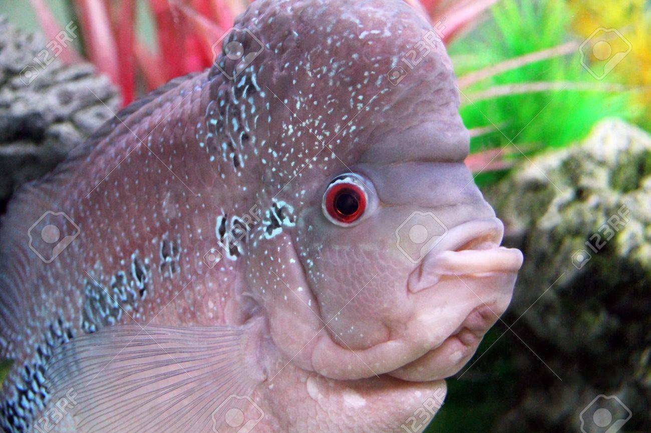 Aquarium Redhead cichlid  Geophagus steindachneri  closeup Stock Photo - 17746565
