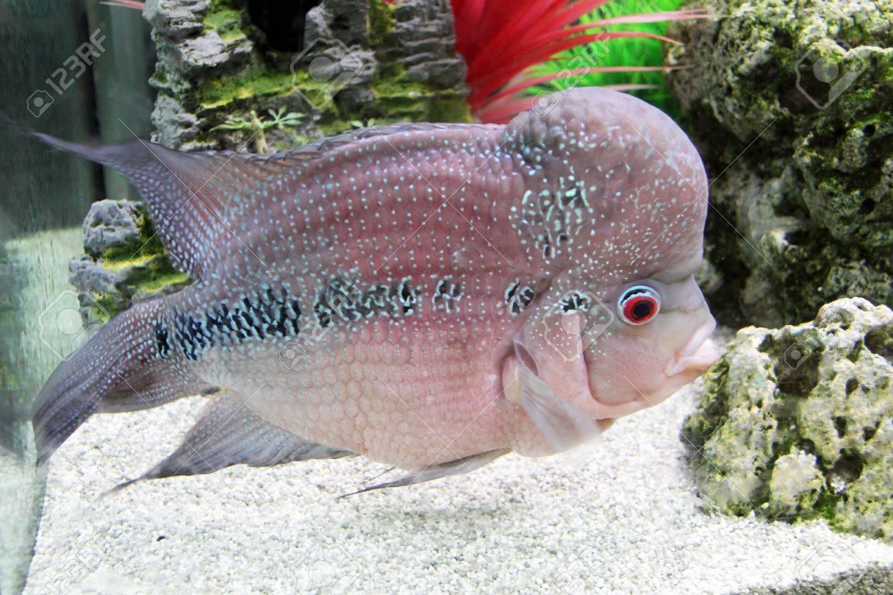Aquarium Redhead cichlid  Geophagus steindachneri  closeup Stock Photo - 17746552