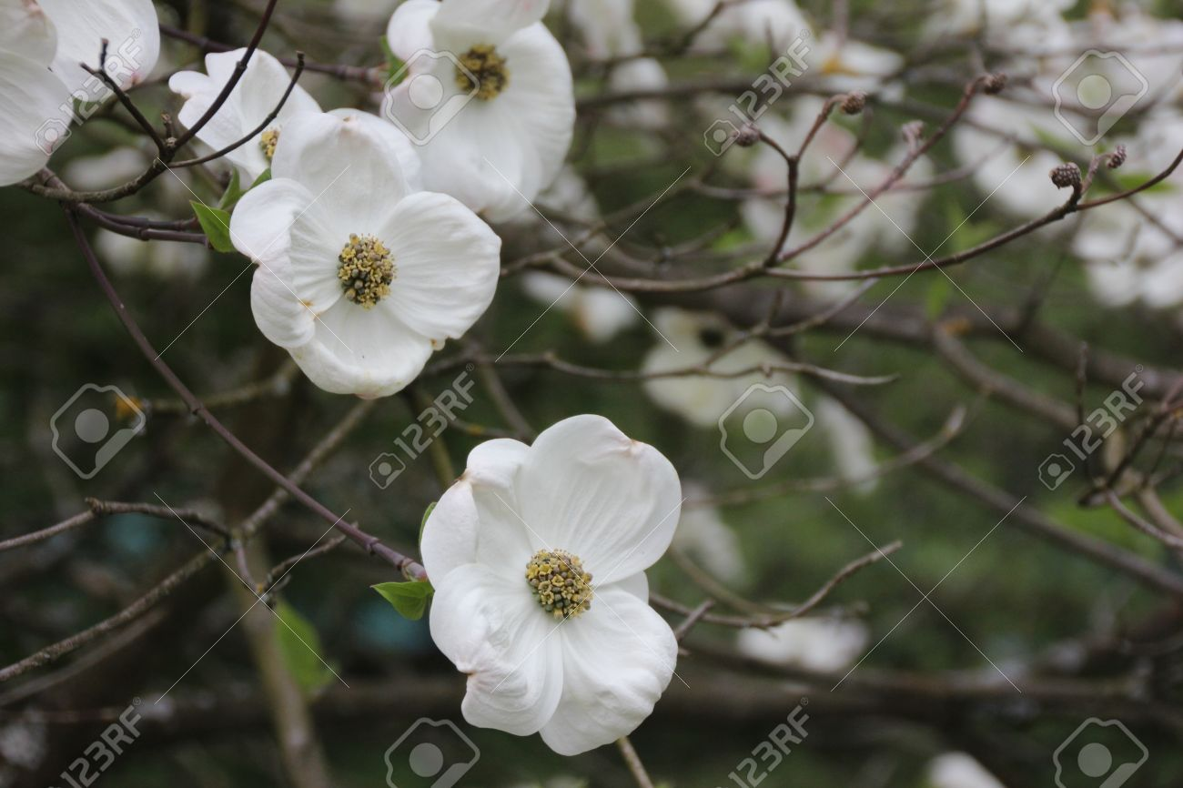Unknown Flowering Tree With Big White Flowers Stock Photo, Picture ...